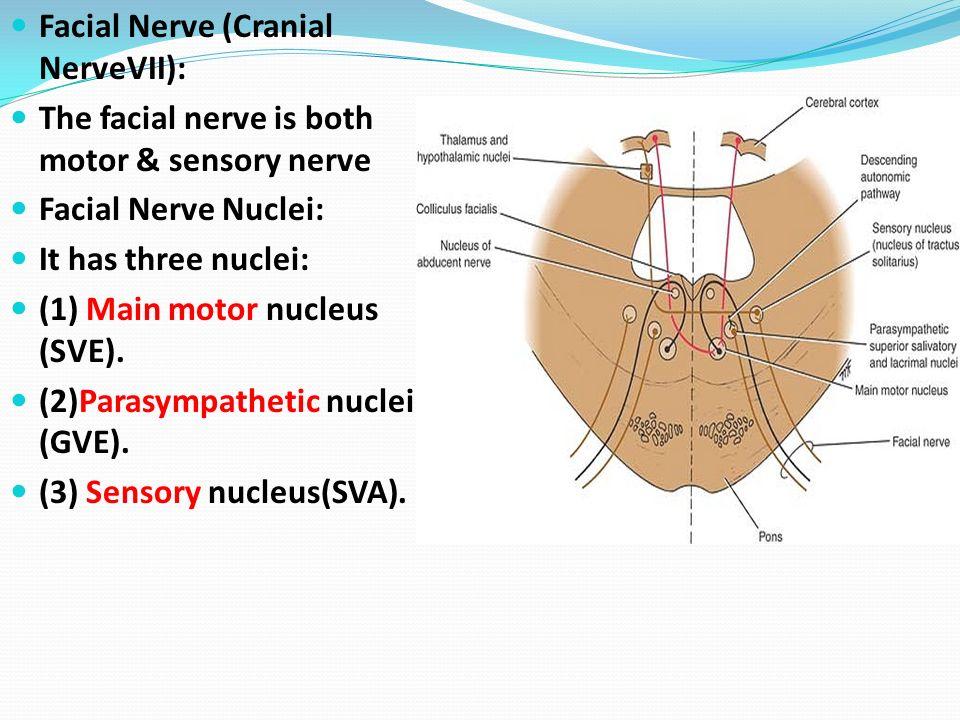 Facial nerve anatomy video