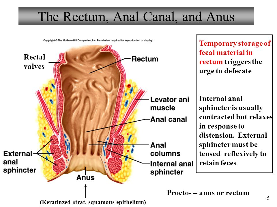 Enchanting Rectal Canal Anatomy Crest - Human Anatomy Images ...