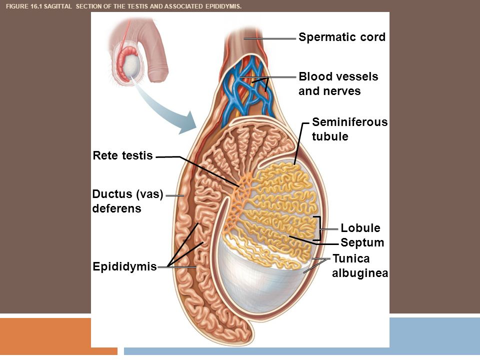 Epididymis Pictures Posters News And Videos On Your Pursuit