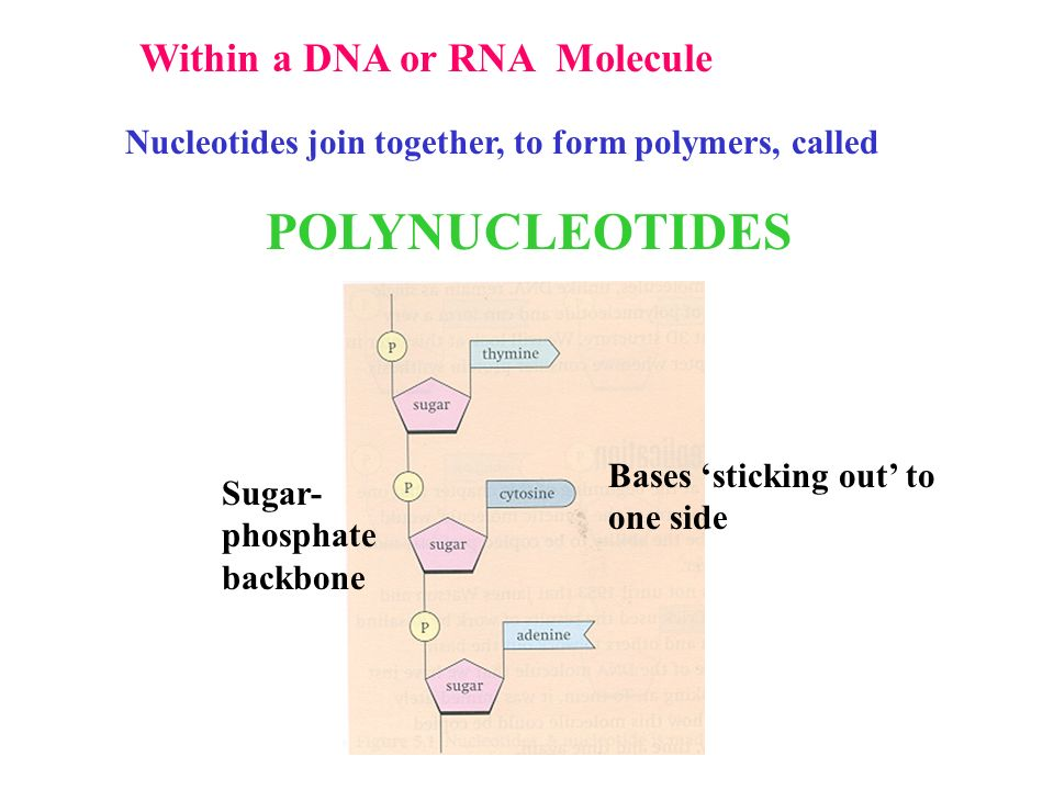 polynucleotides dna and rna ppt video online download