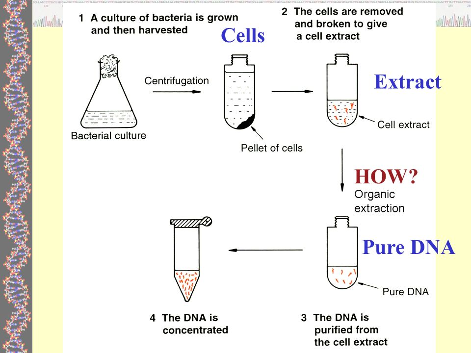 dna extraction Biology lab: simple dna extraction from wheat germ this is one of my favorite labs/activities that i do with my biology i students it doesn't take long to do, it uses very simple household materials, and it works every time there is no number.