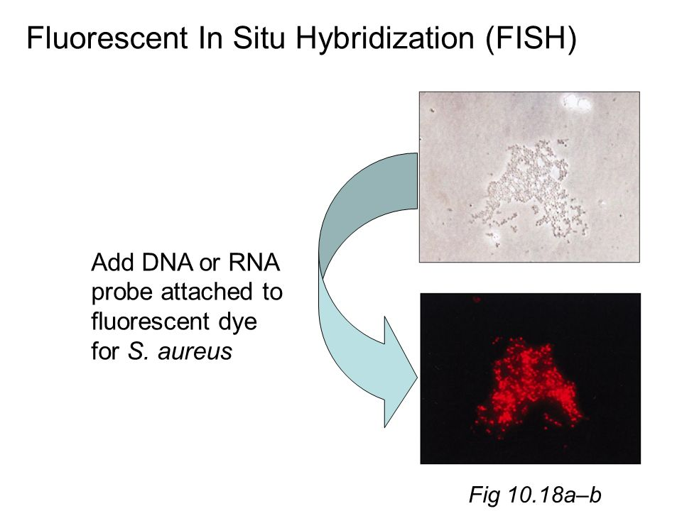 fluorescent in situ hybridization pdf