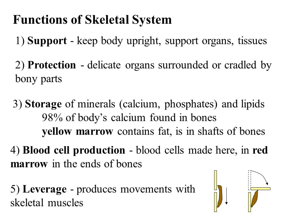 skeletal and muscular system - ppt video online download, Human Body