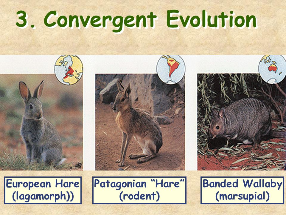 adaptive radiation convergence and the marsupials Adaptive radiation: adaptive radiations are best exemplified in closely related groups that have evolved in (specifically the monotremes and marsupials).