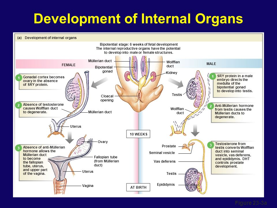 Development Of Sex Organs 71