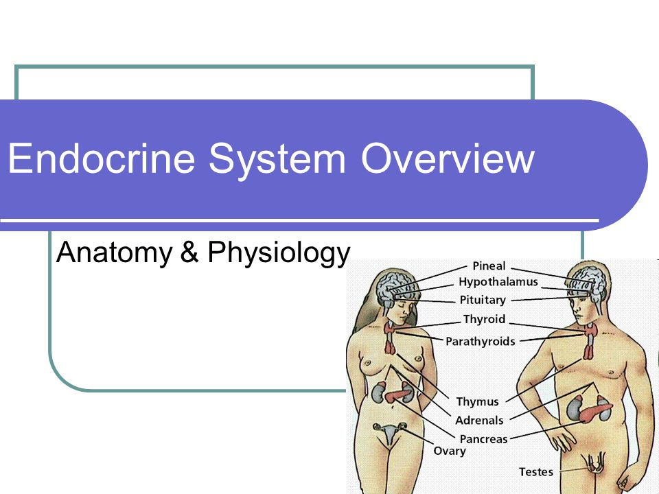 "anatomy and physiology of the endocrine You can't really point to any single organ as ""the endocrine system,"" because they're actually a family of glands that secrete hormones into the body."