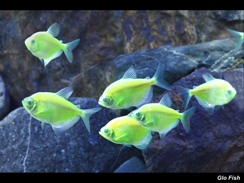 Copyright dean madden ppt video online download for Kanamycin for fish