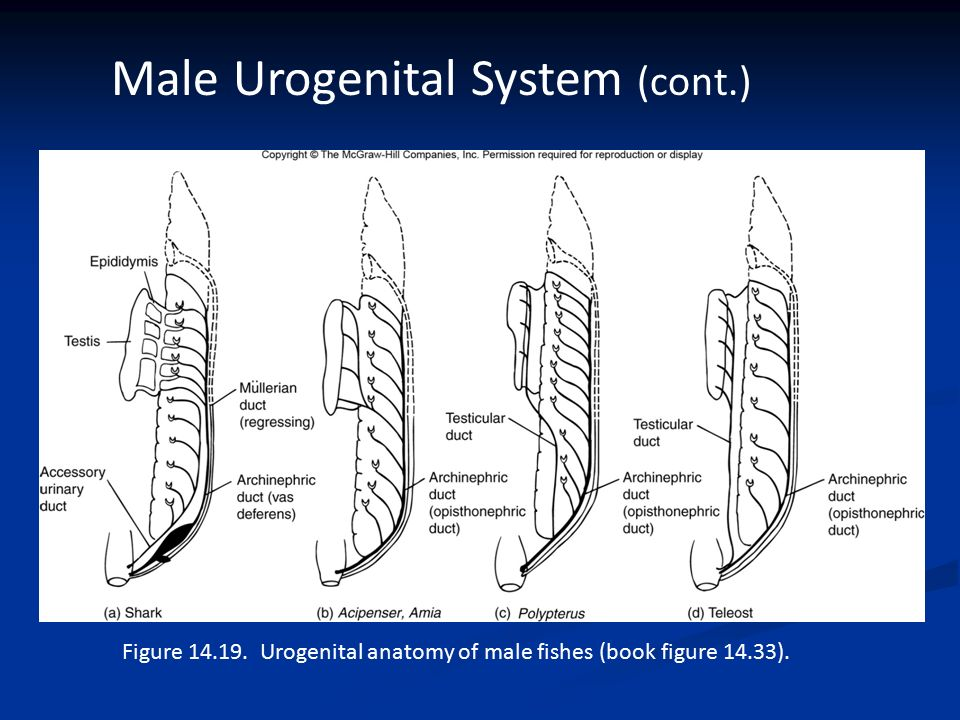 Anatomy of urogenital system