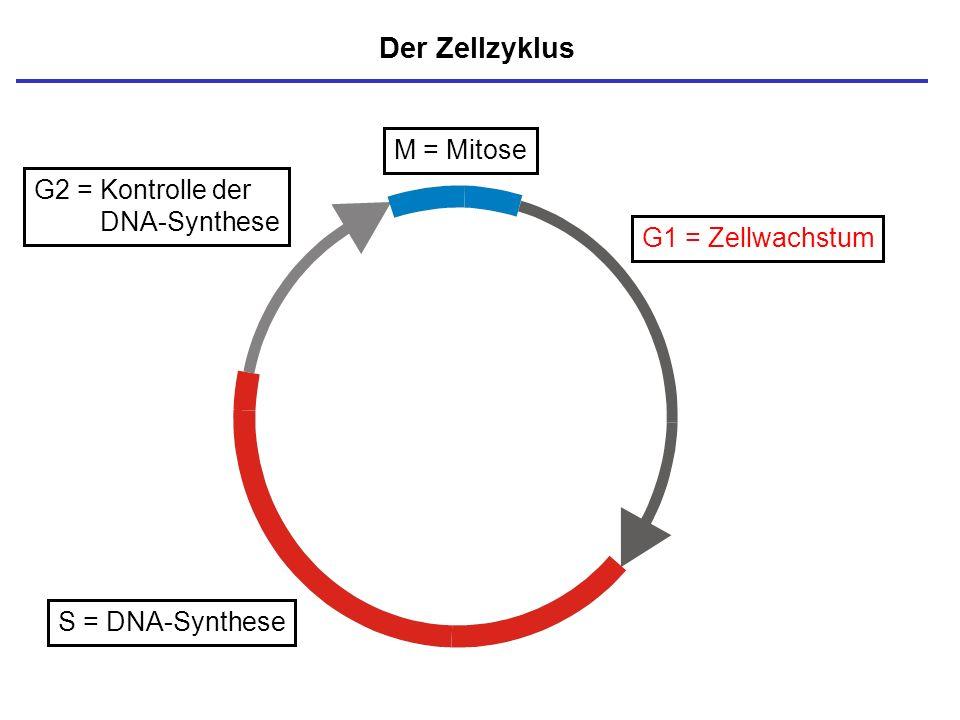 Der Zellzyklus M = Mitose G2 = Kontrolle der DNA-Synthese
