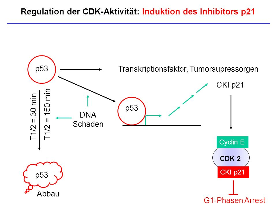 Regulation der CDK-Aktivität: Induktion des Inhibitors p21