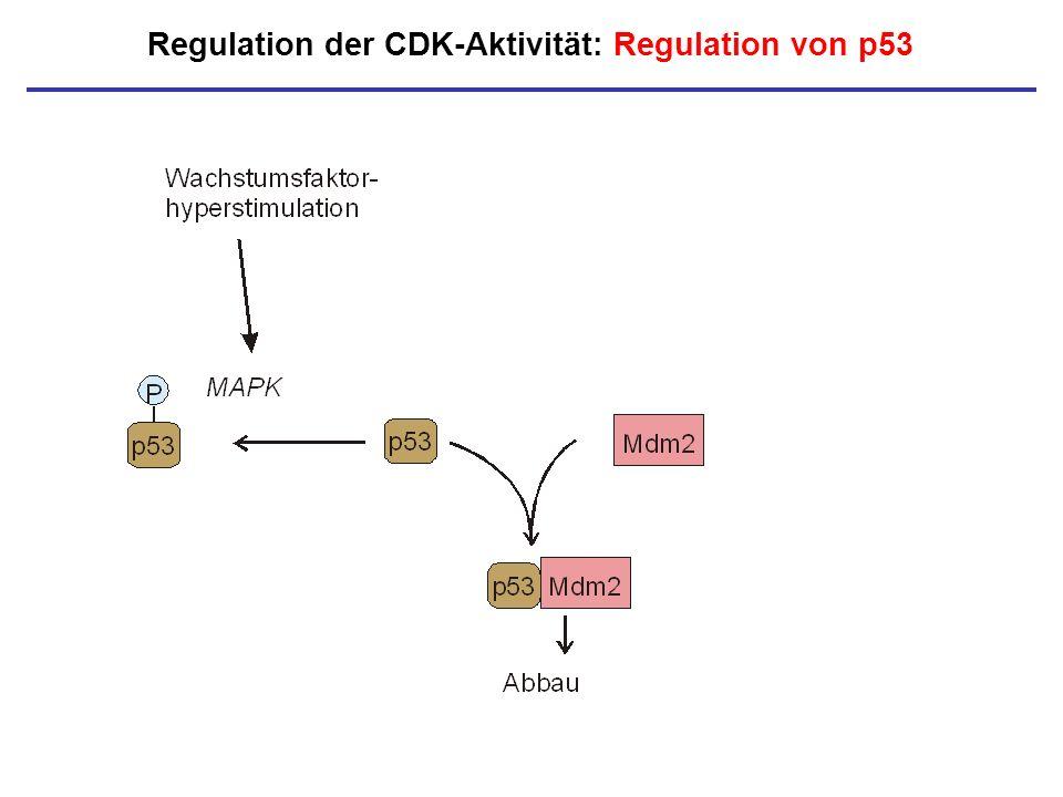 Regulation der CDK-Aktivität: Regulation von p53