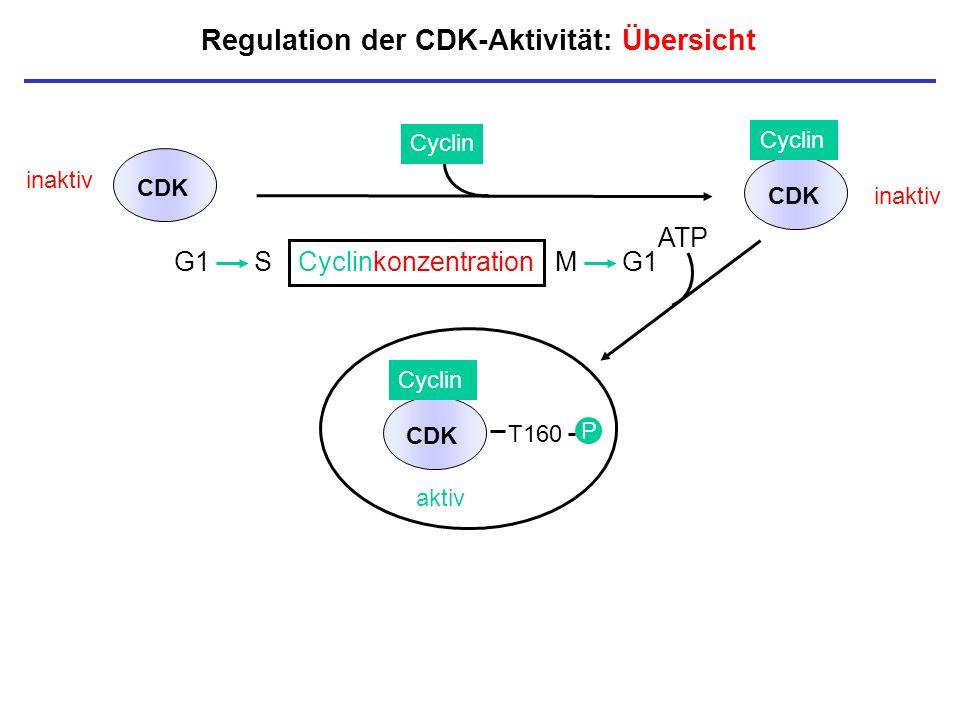 Regulation der CDK-Aktivität: Übersicht