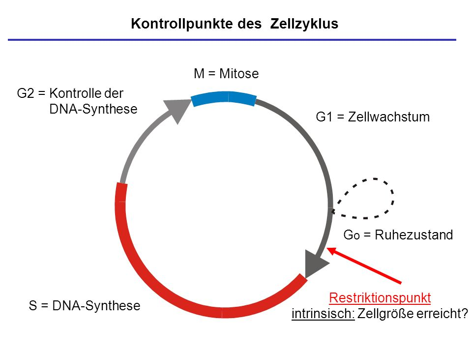 Kontrollpunkte des Zellzyklus