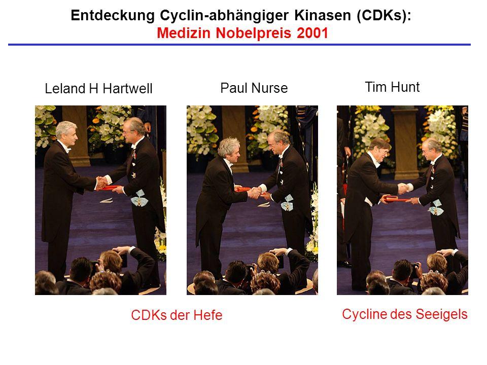Entdeckung Cyclin-abhängiger Kinasen (CDKs):