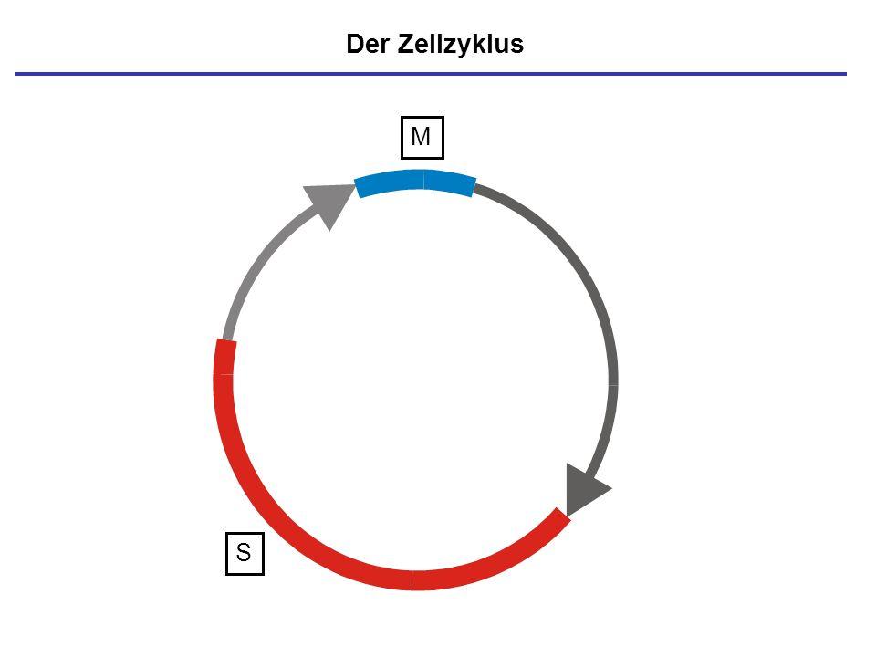 Der Zellzyklus M S