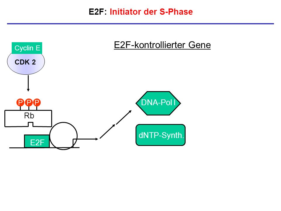 E2F: Initiator der S-Phase