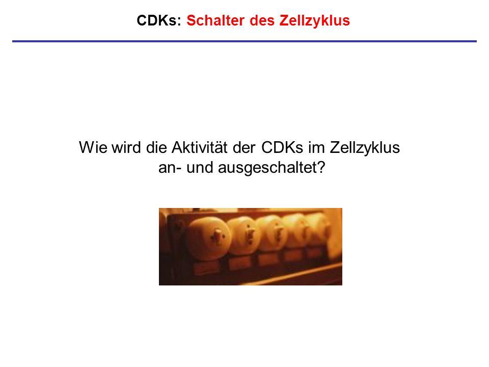 CDKs: Schalter des Zellzyklus