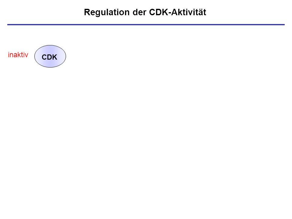 Regulation der CDK-Aktivität