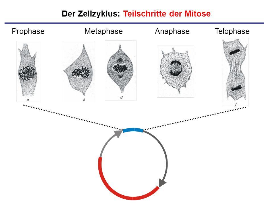 Der Zellzyklus: Teilschritte der Mitose