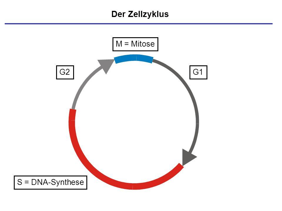Der Zellzyklus M = Mitose G2 G1 S = DNA-Synthese