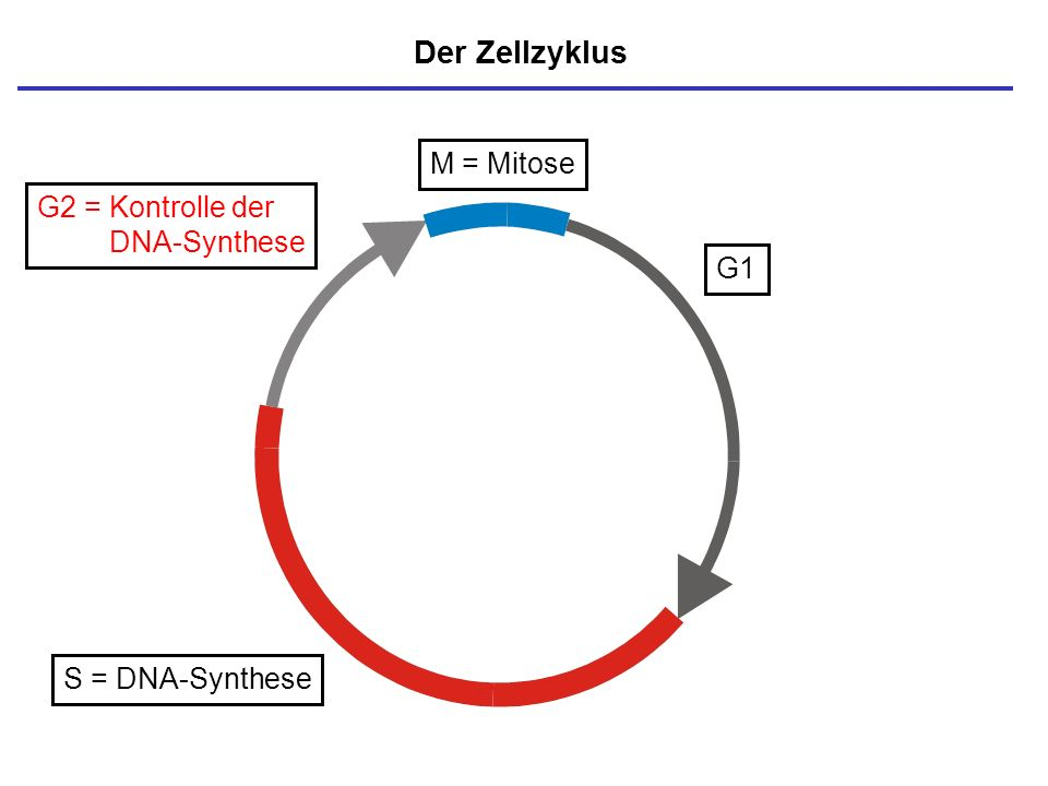 Der Zellzyklus M = Mitose G2 = Kontrolle der DNA-Synthese G1