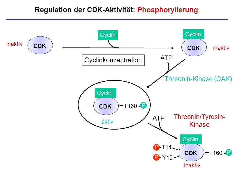 Regulation der CDK-Aktivität: Phosphorylierung