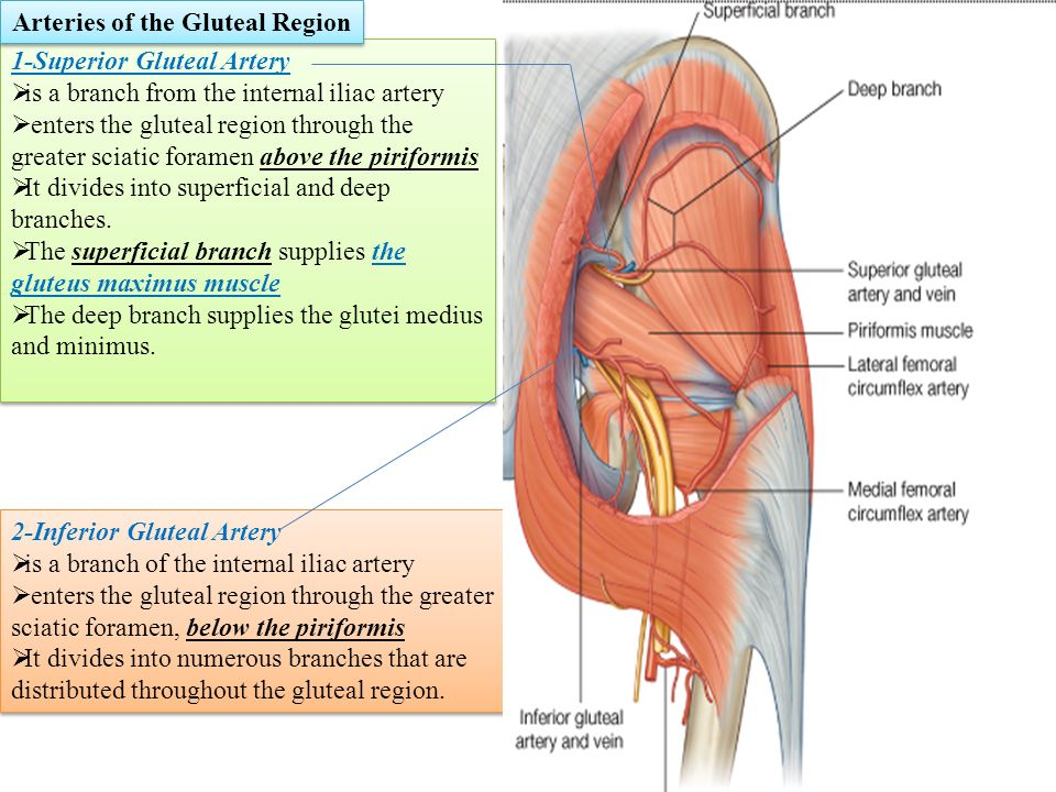Superficial Femoral Artery Anatomy Choice Image - human body anatomy