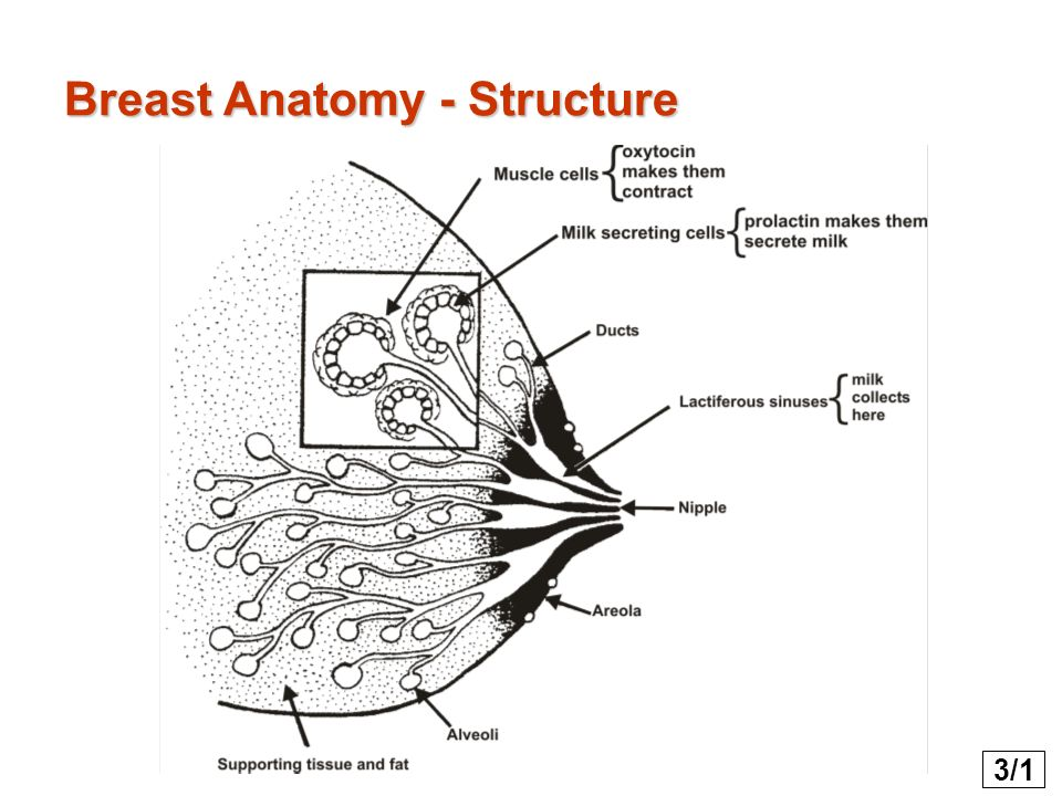 Anatomy of breasts