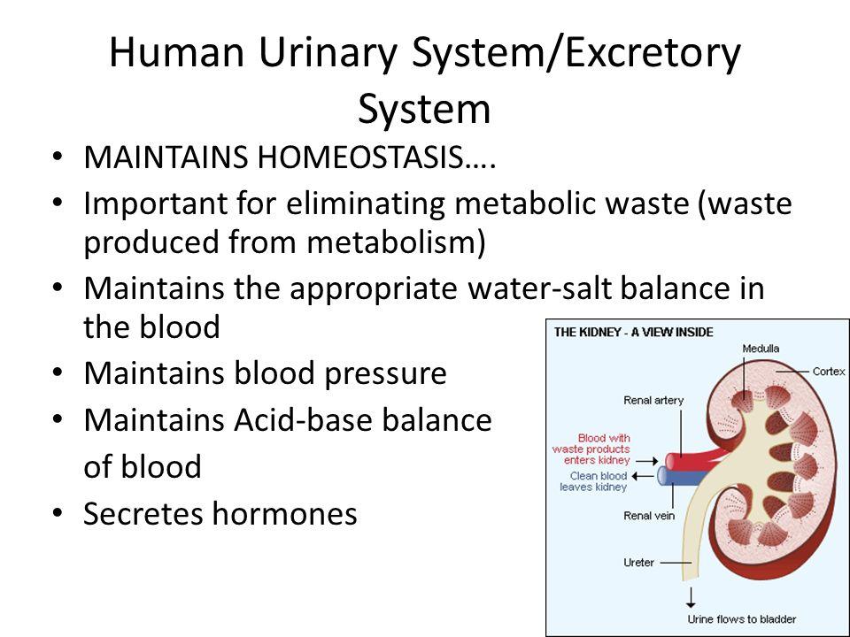 excretory system maintain homeostasis