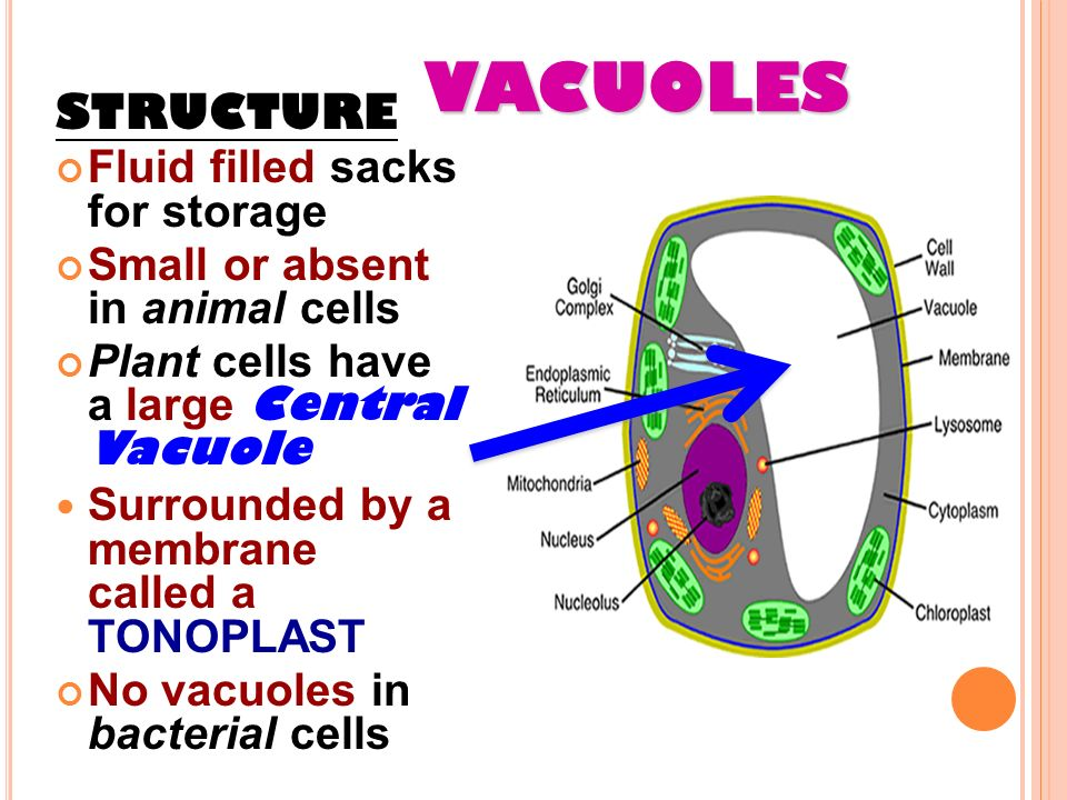 CELL ORGANELLES MS. GAYNOR AP BIOLOGY / CHAPTER 6 (PART 2 ...