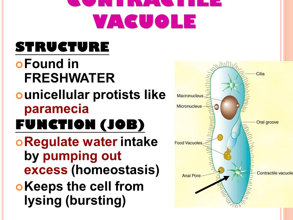 CELL ORGANELLES MS. GAYNOR AP BIOLOGY / CHAPTER 6 (PART 2 ... Contractile Vacuole In A Cell