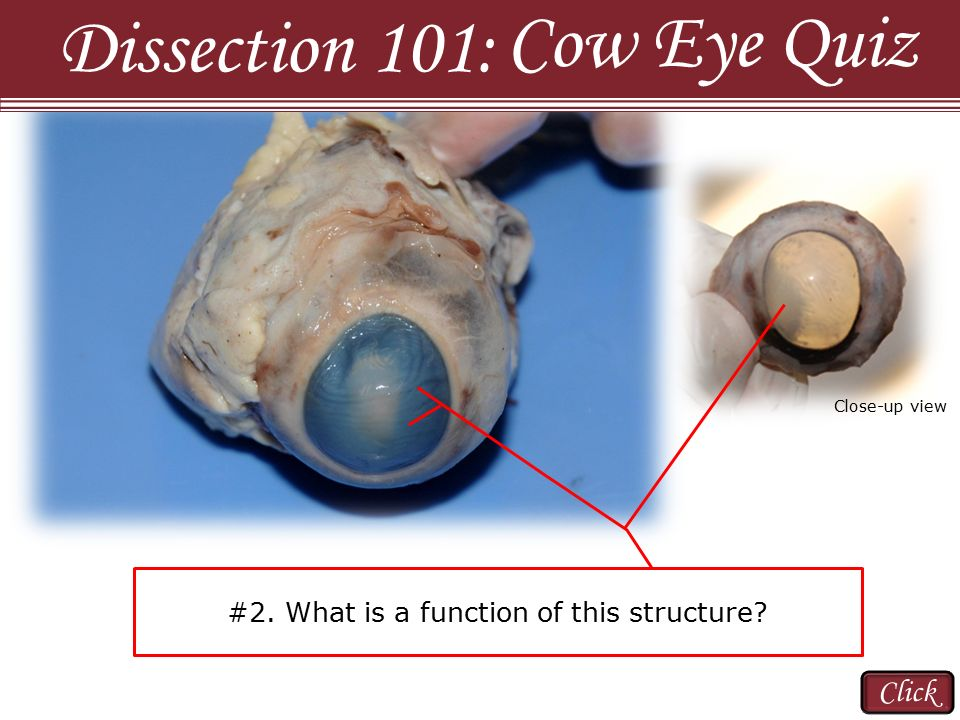 Cow Eye Quiz Dissection 101: Click - ppt video online download