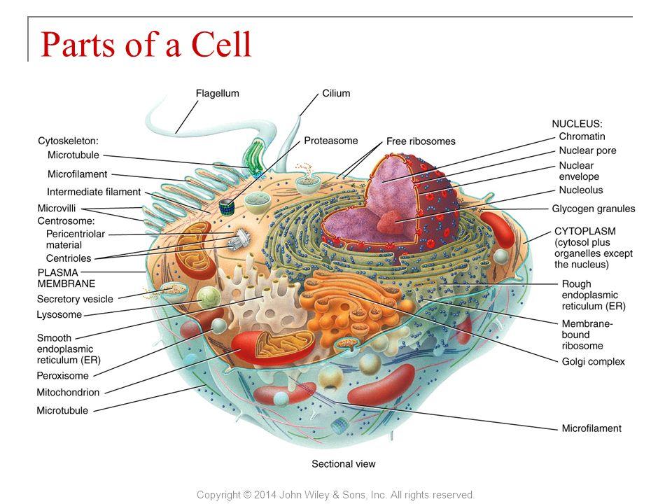 Schön Cellular Anatomy And Physiology Zeitgenössisch - Menschliche ...