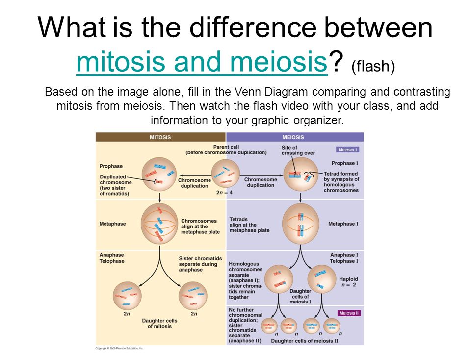 What Are Three Similarities Between Mitosis and Meiosis?