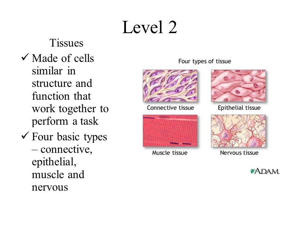 four basic tissue types and their There are four basic types of tissue in the body of all animals, including the human body and lower multicellular organisms such as insects these compose all the organs, structures and other contents.