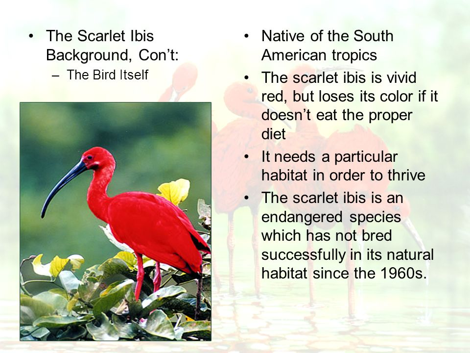 scarlet ibis negative effects of pride Get everything you need to know about pride in the scarlet ibis  hurst's story  points to both positive and negative effects that pride can have.