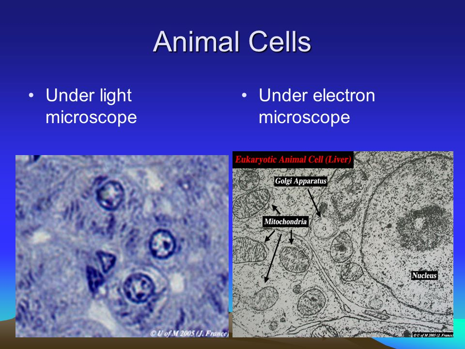 Animal cell light microscope