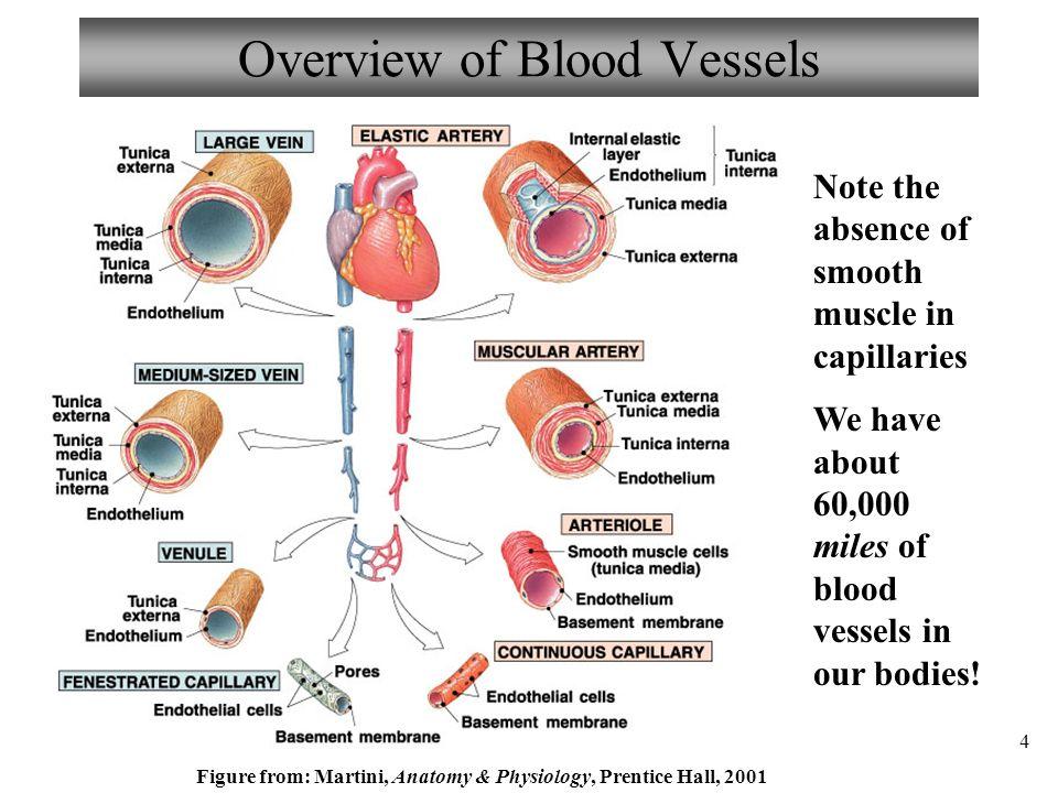 Erfreut Anatomy And Physiology Blood Fotos - Menschliche Anatomie ...