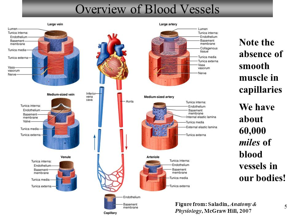 Großartig Anatomy And Physiology Of Blood Vessels Galerie ...
