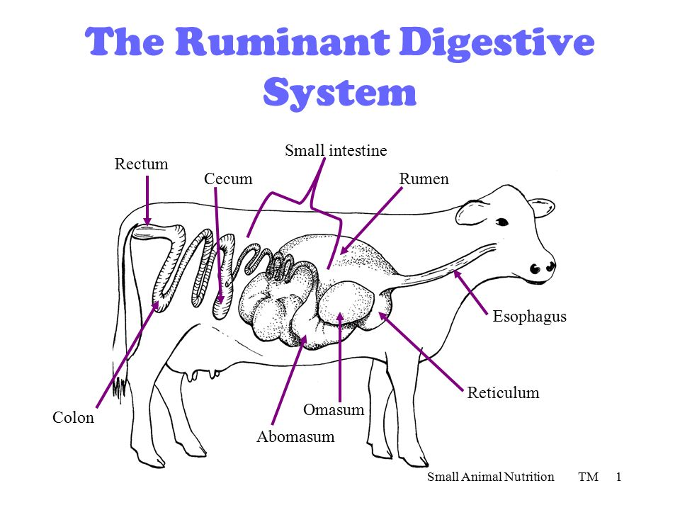 Cow Digestive Tract: Cow Digestion Anus