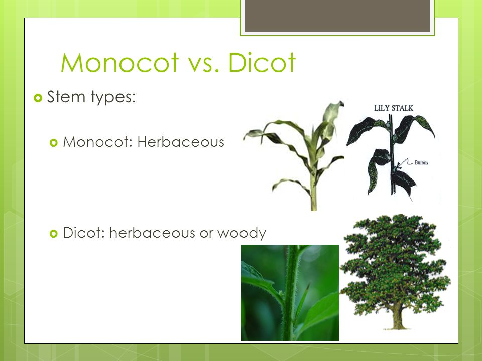 monocot vs dicot root pdf