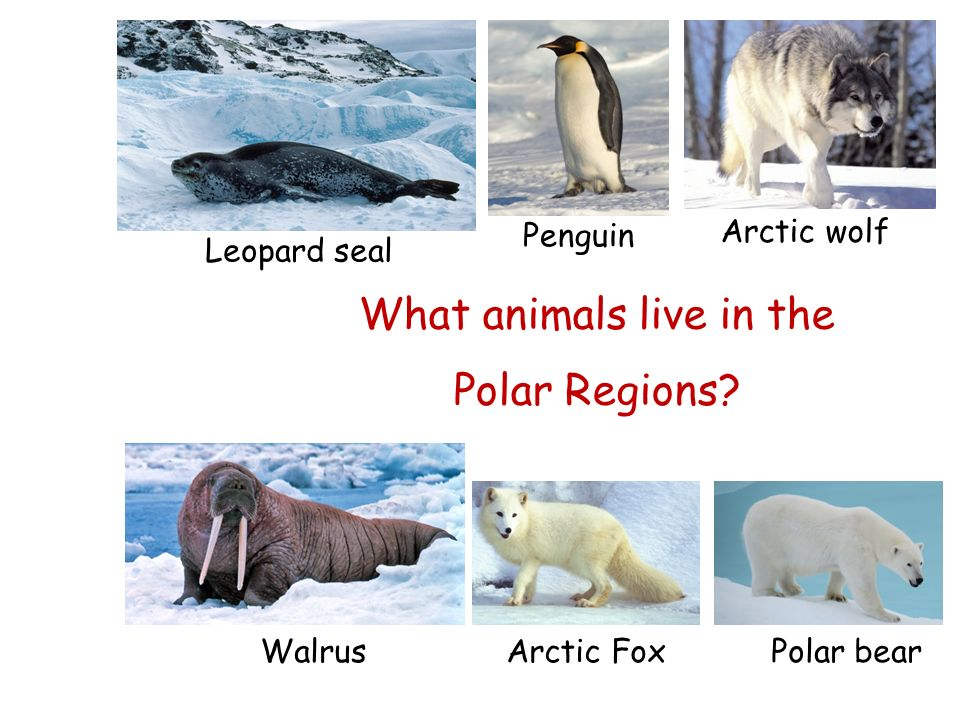 Image result for what animals live in the polar regions