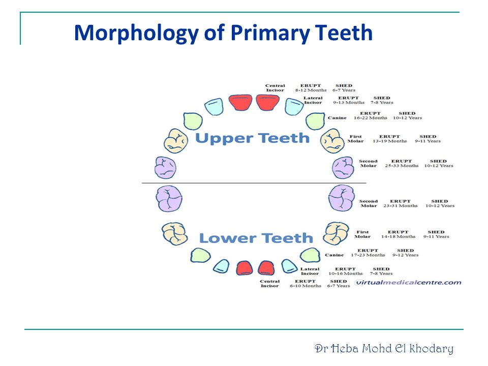 Human dentition introduction dental anatomy includes: ppt download.