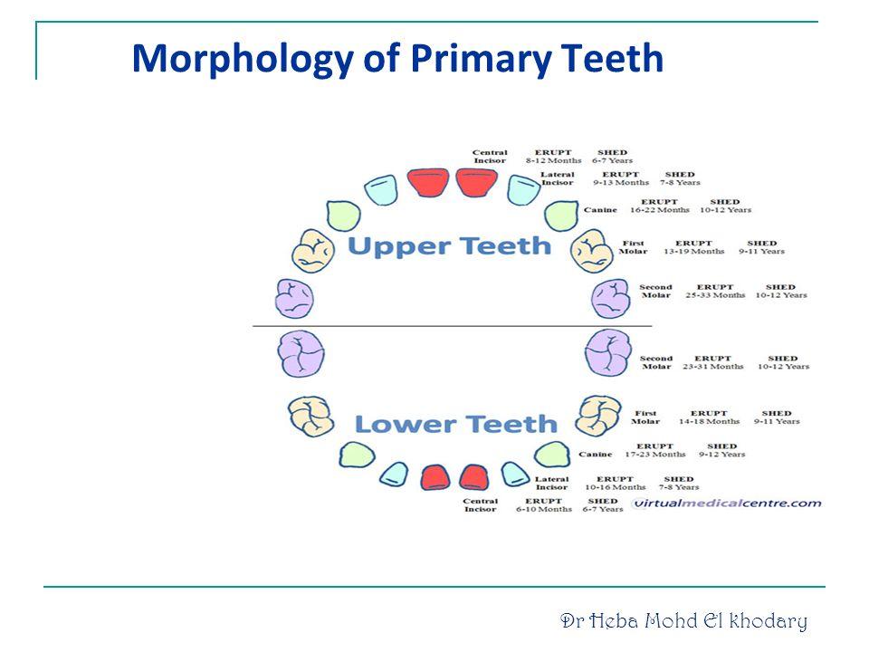 Primary teeth anatomy