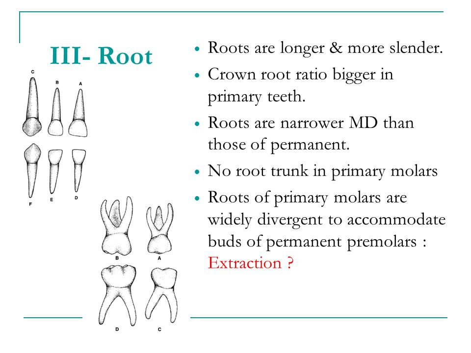 III- Root Roots are longer & more slender.