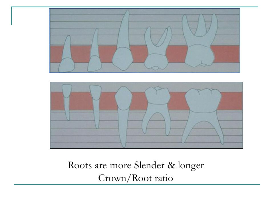 Roots are more Slender & longer