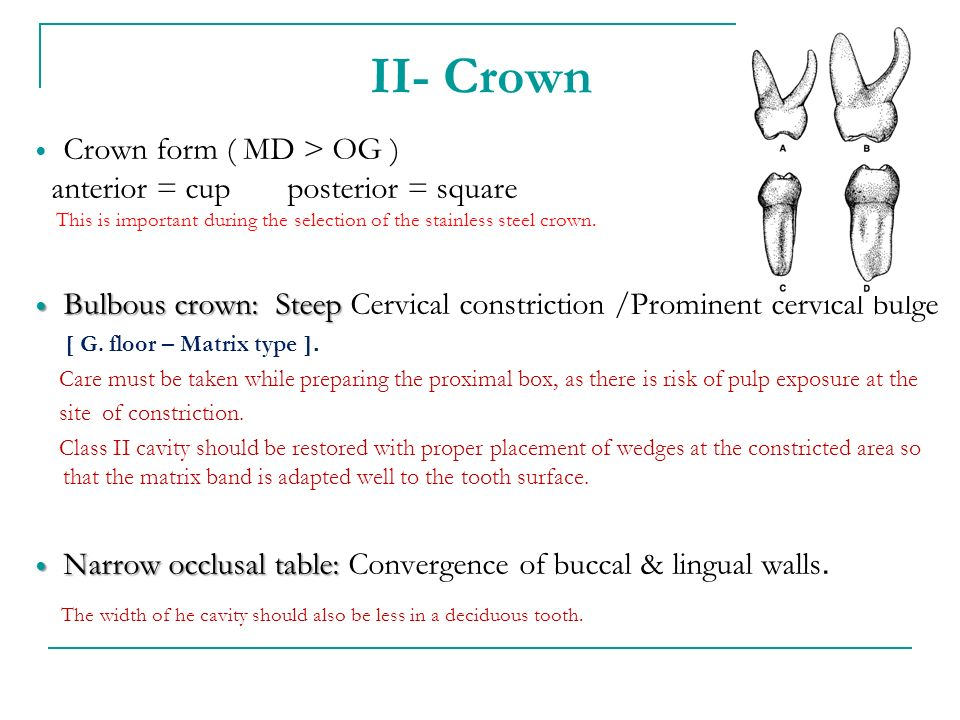 II- Crown Crown form ( MD > OG ) anterior = cup posterior = square