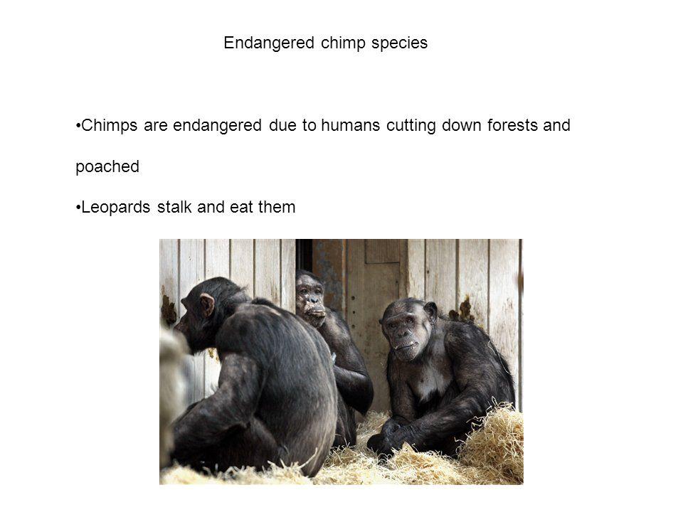 Endangered chimp species