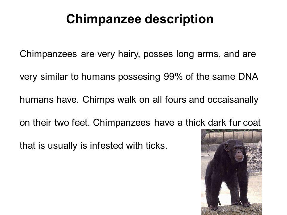 Chimpanzee description