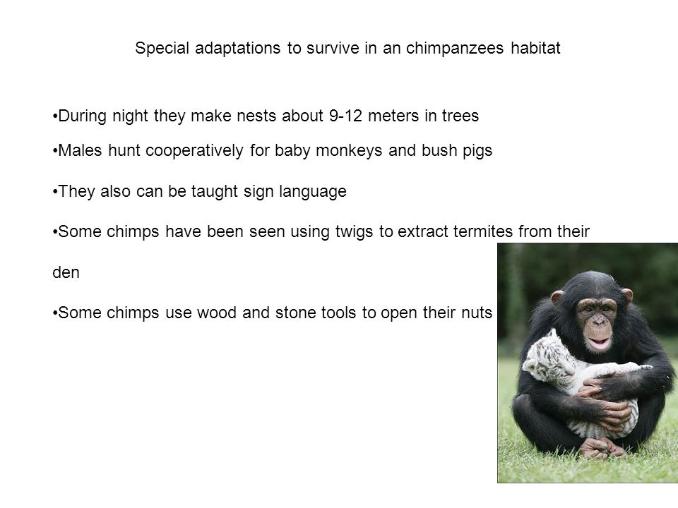 Special adaptations to survive in an chimpanzees habitat